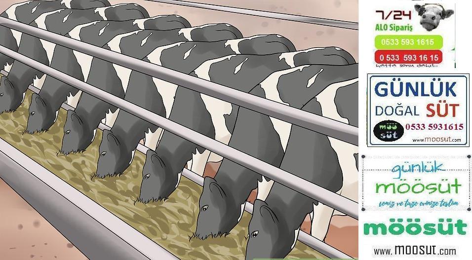 Çiftlik Süt İnekleri